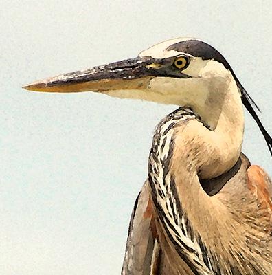 Great Blue Heron on Piling panel closeup
