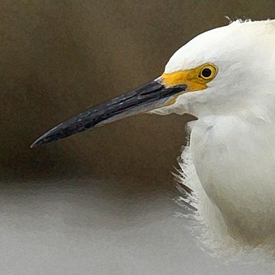 Snowy Egret panel closeup